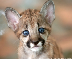 mountain-lion-kitten623