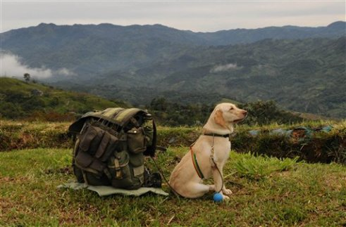 A dog trained to find land mines sits leashed to the backpack of a soldier guarding workers who are destroying coca fields in San Francisco, in Colombia's northern state of Antioquia, Monday, May 11, 2009. (AP Photo/Luis Benavides)